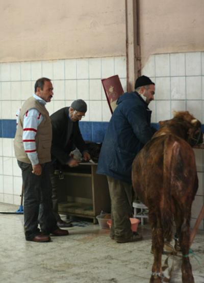 Bayram_cow