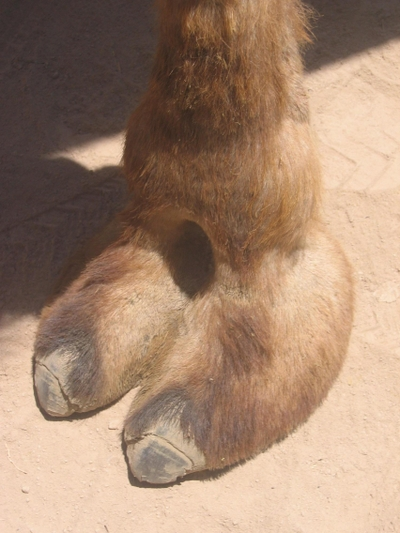 Cameltoereal