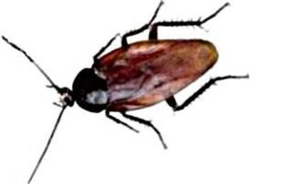 Cockroach_major